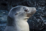 Galapagos, Ecuador, Isabela Island. Galapagos Sea Lion Photographic Print by Mark Williford