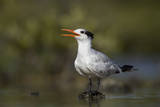 A Royal Tern in a Southern Florida Coastal Wetland Photographic Print by Neil Losin