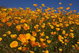 USA, California, San Diego. Poppy Wildflowers in Rattlesnake Canyon Photographic Print by  Jaynes Gallery