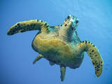 A Green Turtle Underwater in the Caribbean Photographic Print by Eric Peter Black