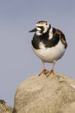 A Ruddy Turnstone in its Breeding Plumage on the Southern California Coast Photographic Print by Neil Losin