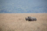 A Solitary Black Rhinoceros Walks Through a Field of Dried Grass in the Ngorongoro Crater, Tanzania Photographic Print by Greg Boreham