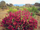 USA, California, Sierra Nevada. Flowering Bush in the Alabama Hills Photographic Print by  Jaynes Gallery
