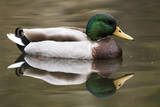 A Male Mallard on a Small Pond in Southern California Photographic Print by Neil Losin