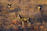 Three Mule Deer Does Relax on a Grassy Hillside in Wind Cave National Park, South Dakota Photographic Print by Mike Cavaroc