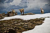 Three Young Sheep on Mt Evans, Colorado Playing in the Snow Photographic Print by Daniel Gambino