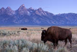 A Bison in a Meadow with the Teton Mountain Range as a Backdrop, Grand Teton National Park, Wyoming Photographic Print by Adam Barker