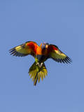 A Rainbow Lorikeet from Northern Australia in Flight in Southwest Australia Photographic Print by Neil Losin