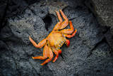 Galapagos, Ecuador, Isabela Island. Orange Sally Lightfoot Crab Photographic Print by Mark Williford
