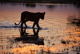 Silhouette Portrait of a Lioness Crossing Through the Water of the Savuti Channel in Botswana Photographic Print by Karine Aigner