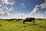 Cows Grazing in the Dutch Countryside Near the Town of Holysloot North of Amsterdam, Netherlands Photographic Print by Carlo Acenas