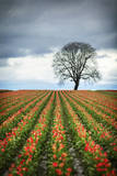 A Dramatic Spring Scene from the Wooden Shoe Tulip Farm Outside of Woodburn, Oregon Photographic Print by Patrick Brandenburg