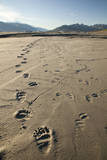 Tracks of a Grizzly Bear Family in the Mud Flats of Alsek Lake in Glacier Bay National Park, Alaska Photographic Print by Justin Bailie