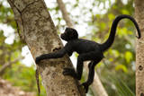 A Baby Peruvian Spider Monkey Climbs a Tree in Tambopata Np in the Peruvian Amazon Photographic Print by Sergio Ballivian