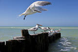 Royal Terns Flying Above the Turquoise Waters of the Gulf of Mexico Off of Holbox Island, Mexico Photographic Print by Karine Aigner