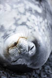 Weddell Seal, Near the Esperanza Base, Antarctica Photographic Print by Gaston Lacombe