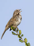 A Song Sparrow Singing in Southern California Photographic Print by Neil Losin