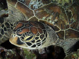 Closeup Look at a Turtle on the Reef in Palau Photographic Print by Eric Peter Black