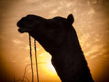 Camel Silhouetted Against the Sunset at the Pushkar Fair, India Photographic Print by Frances Gallogly