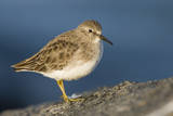 A Least Sandpiper on the Southern California Coast Photographic Print by Neil Losin