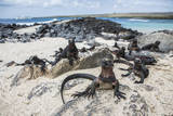 A Group of Marine Iguanas Pose on the Rocks, Galapagos Islands, Ecuador Photographic Print by Karine Aigner