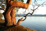 Canada. BC. Arbutus Tree on the Cliffs of Link Island Photographic Print by Kevin Oke