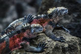 Galapagos Islands, Ecuador, Floreana Island. Red Marine Iguana Pals Photographic Print by Mark Williford