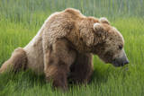 USA, Alaska, Brown Bear Photographic Print by Gavriel Jecan