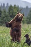 USA, Southeast Alaska, Brown Bear and Cub Photographic Print by Gavriel Jecan
