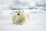 Norway, Spitsbergen. Adult Polar Bear Rests on the Summer Pack Ice Photographic Print by Steve Kazlowski