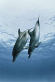 Pair of Dolphins Photographic Print by Amos Nachoum