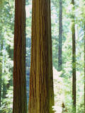 USA, California, Redwood National Park. Old-Growth Redwood Trees Photographic Print by  Jaynes Gallery