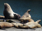 Steller Sea Lions (Eumetopias Jubatus), Kodiak Island, Alaska, USA Photographic Print by Roddy Scheer