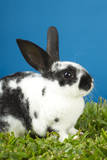 Young Rex Rabbit Photographic Print by Maresa Pryor