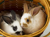 Young Rex Rabbits in Easter Basket Photographic Print by Maresa Pryor