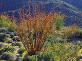 USA, California, Anza-Borrego Desert State Park. Ocotillo Wildflowers Photographic Print by  Jaynes Gallery