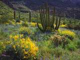 USA, Arizona, Organ Pipe Cactus Nm. Wildflowers and Cacti Photographic Print by  Jaynes Gallery