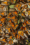 USA, California, Pismo Beach. Monarch Butterflies Cling to Leaves Photographic Print by  Jaynes Gallery