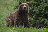 USA, Southeast Alaska, Brown Bear Photographic Print by Gavriel Jecan