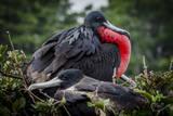 Isla De Plata, Ecuador. Nesting Frigate Bird Pair Photographic Print by Mark Williford