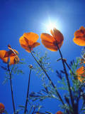 USA, California, Sun's Rays Though a California Poppy Photographic Print by  Jaynes Gallery