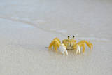 Caribbean, British Virgin Islands, Anegada. Ghost Crab Photographic Print by Kevin Oke