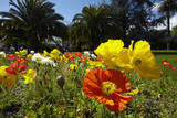 Poppies and Palm Trees, Anzac Park, Nelson, South Island, New Zealand Photographic Print by David Wall