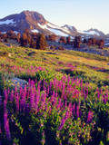 USA, California, Sierra Nevada. Lupine Wildflowers at Carson Pass Photographic Print by  Jaynes Gallery