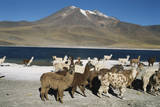 Altiplano, Chile, Close-Up of Llamas (Lama Glama) Photographic Print by Andres Morya Hinojosa