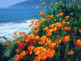 USA, California, California Poppies Along the Pacific Coast Photographic Print by  Jaynes Gallery