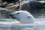Norway, Spitsbergen, Sallyhammna. Polar Bear Profile of a Boar Photographic Print by Steve Kazlowski