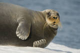 Norway, Spitsbergen, Greenland Sea. Bearded Seal Cow Rests on Sea Ice Photographic Print by Steve Kazlowski