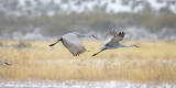 Sandhill Cranes Taking Flight, Bosque Del Apache, New Mexico, USA Photographic Print by Maresa Pryor