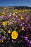 USA, California, San Diego. Desert Sunflower and Sand Verbena Photographic Print by  Jaynes Gallery